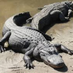 Man survives 4 days in alligator infested swamp!